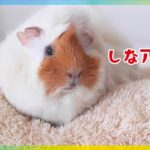 How toモルモットのダイエット cute guineapig